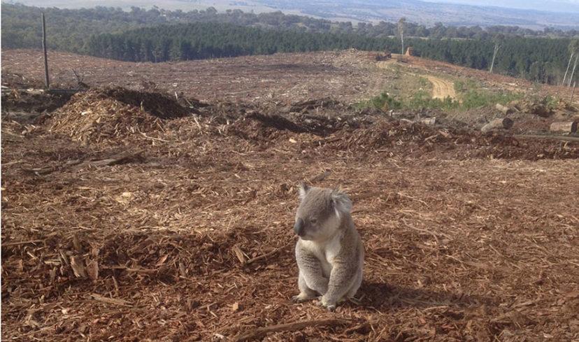 Déforestation et koala