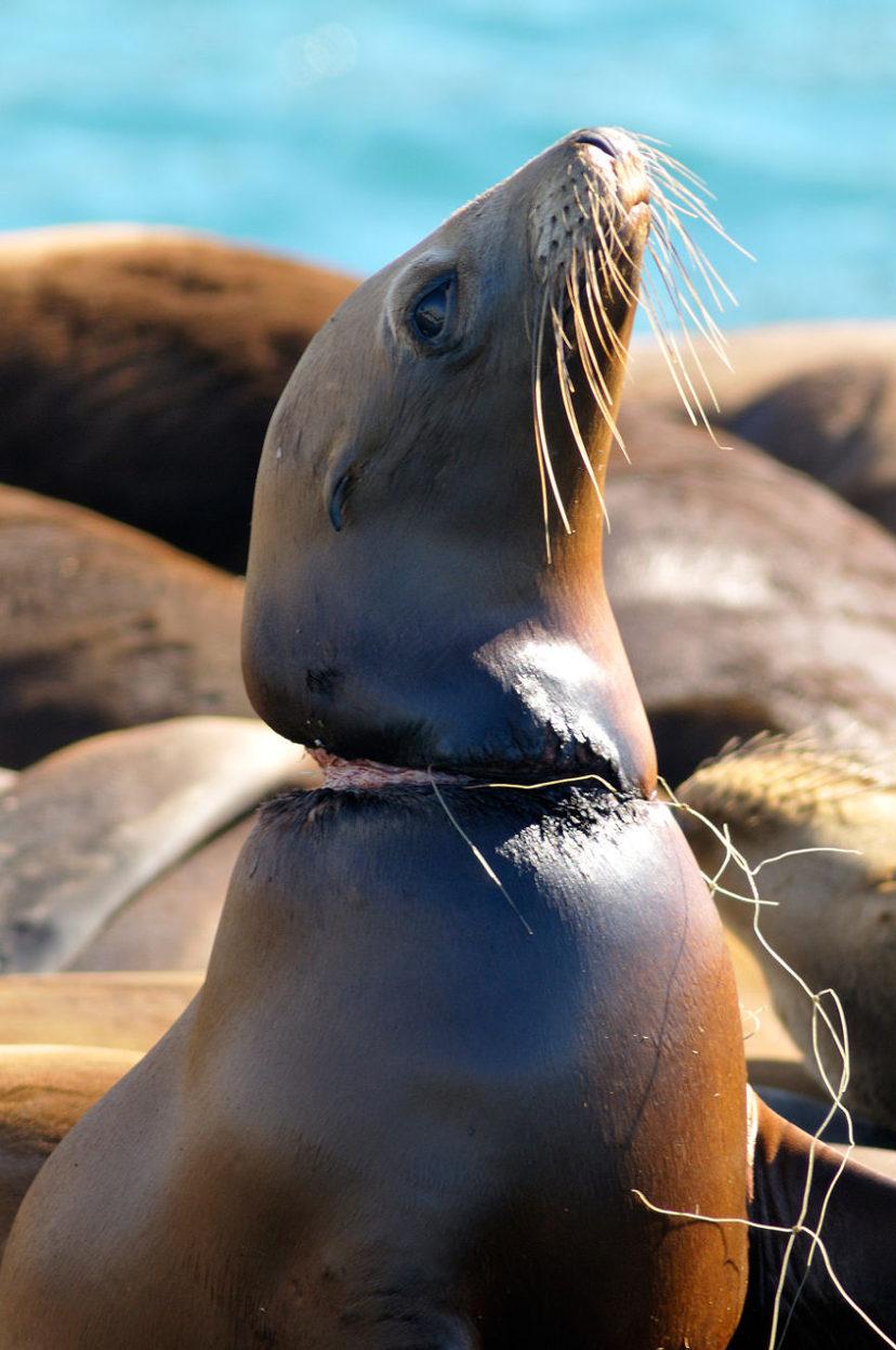 Pollution - Une otarie blessée par un fil de pêche